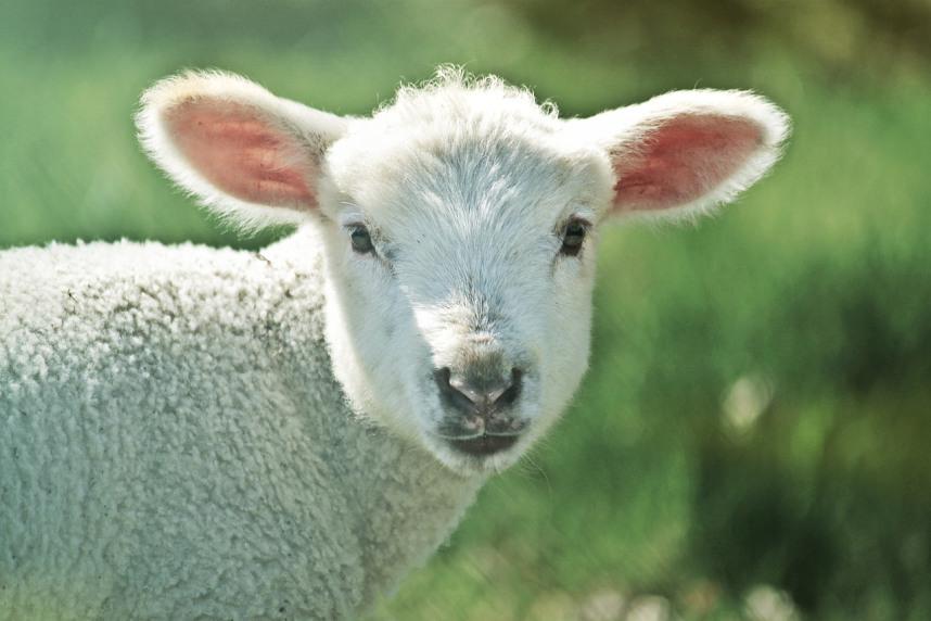lamb-739165_1280